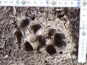 1_Marderhund_Schritt_FiF_2018-03-05__2__5_.JPG